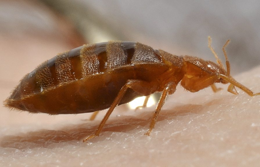 Bed Bug Image Gallery The Bed Bug Exterminators Of Nyc Are